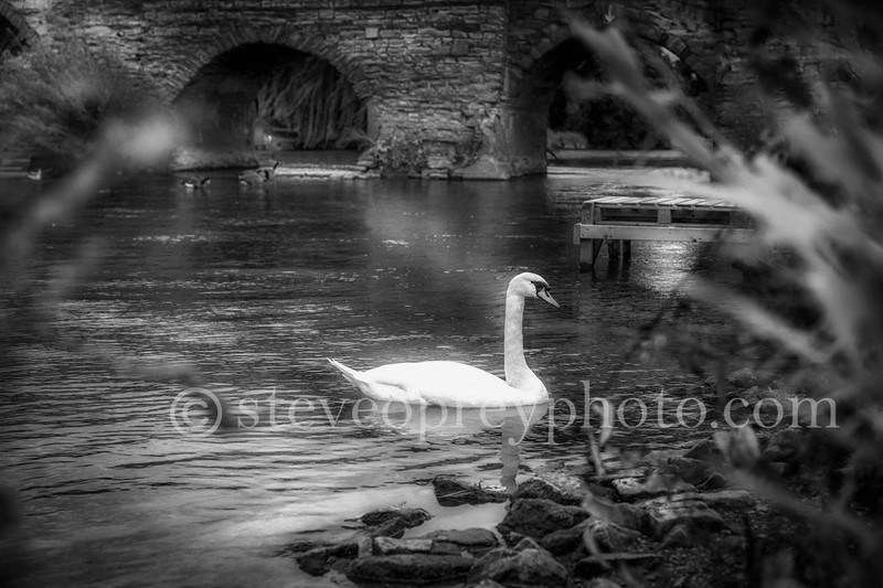 Lonely Swan in Bidford 1