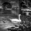 Lonely Swan in Bidford 1