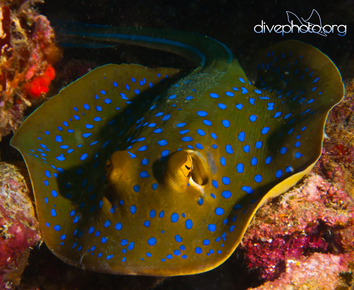 Blue spotted ray of Komodo Island