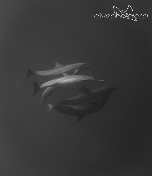 Dolphins in South China Sea