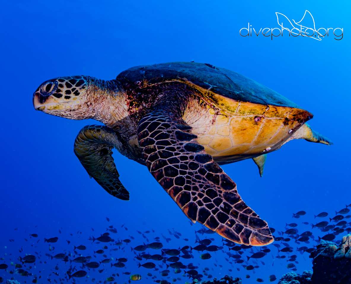 Honu, green sea turtle, Oahu
