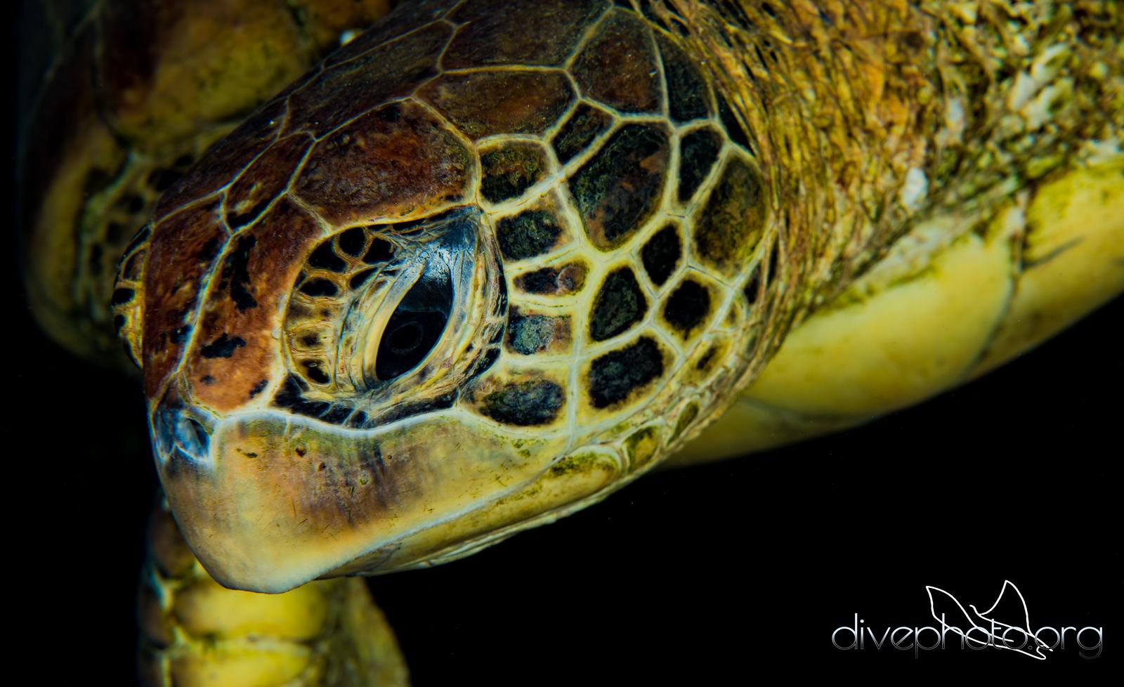 Honu, green sea turtle, Oahu