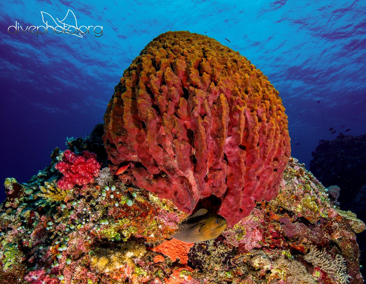 Barrel sponge and moray