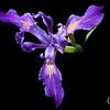 Wild iris, Big Bear Lake