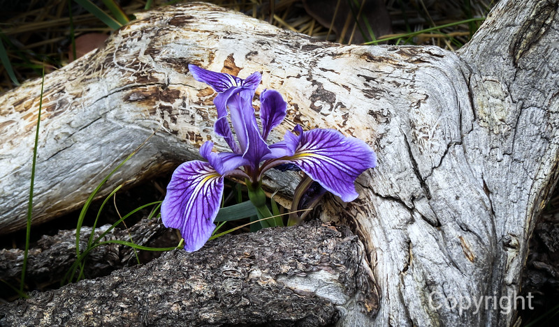 Wild Iris Big Bear Lake