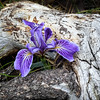 Wild Iris Big Bear Lake