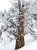 Frosty Cedar