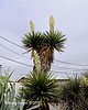 Yuccas in bloom