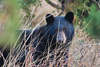 Black Bear at the Lost Mine Trailhead