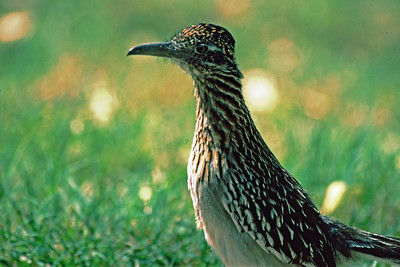 If there is one bird that says alot about Big Bend it is the Roadrunner.  This bird doesn't fly but chases insects and small rodents with his feet.  Beep, beep.