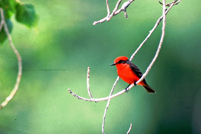 Big Bend has an abundance of Vermillion Flycatchers.