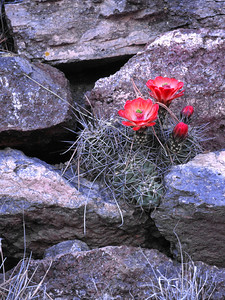 Claret cup Cactus bloom, Big Bend National Park