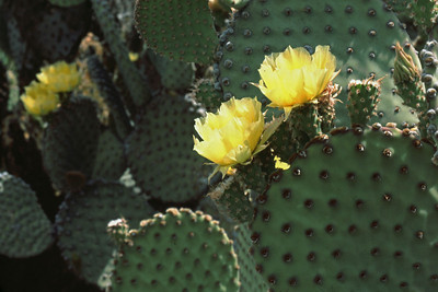 The prickly pear cactus is full of thorns but it also blooms these gorgeous yellow flowers in the spring.