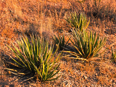 Yucca plants found in Big Bend National Park.  Don't back into one of these, very painful!