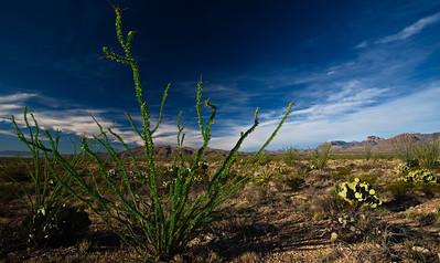 Ocotilla plant