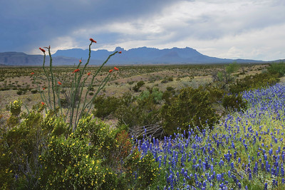 Ocotillo and Bluebonnets