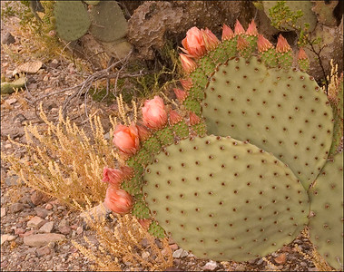 Prickly Pear at Lost Mine Trail