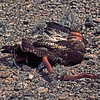 Red-Tail Hawk and Western Coachwhip