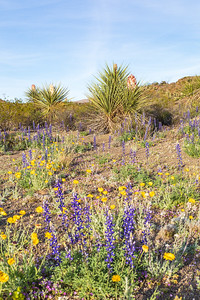 Desert in Bloom