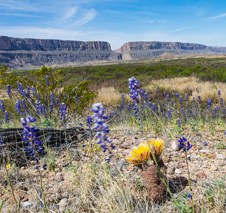 Flowers in front of Santa Elena Canyon in Big Bend NP