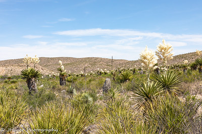 Giant Dagger Yuccas blooming across the desert