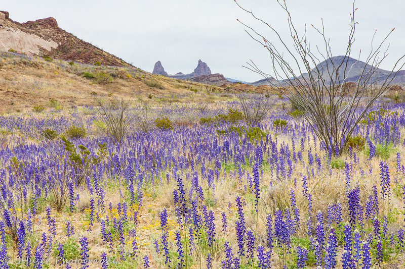Bluebonnet wildflowers by Mule Ears in Big Bend NP