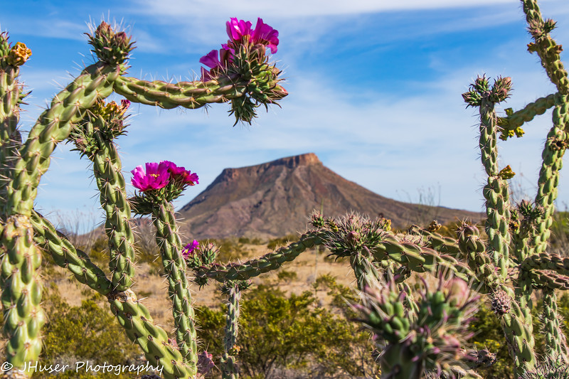 Cane Cholla cactus in bloom with mountain in background