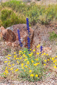Big Bend Bluebonnets and Desert Marigolds