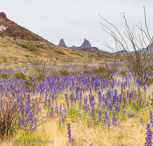 Vertical-Bluebonnet wildflowers by Mule Ears in Big Bend NP