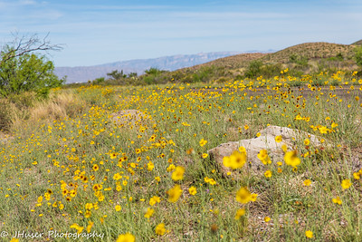 Yellow flowers along the road in Big Bend NP