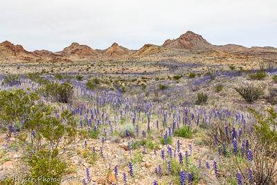 Bluebonnets across the Chihuahuan Desert