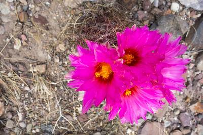 Pride of Texas cactus