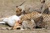 Cheetah_Feast_Mara_Kenya_Asilia_20150247