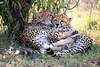 Cheetah_Cubs_Mara_Kenya_Asilia_20150081