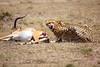 Cheetah_Feast_Mara_Kenya_Asilia_20150206