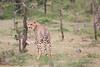 Cheetah_Mara_Asilia_Kenya0014