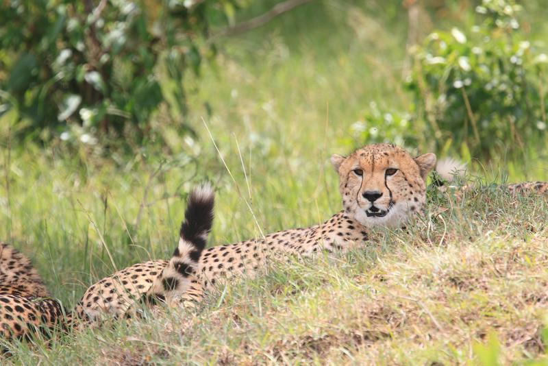 Cheetah_Mara_Asilia_Kenya0083
