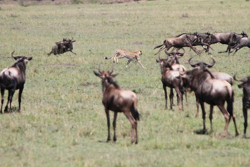 Cheetah Mara Rekero