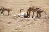 Cheetah_Feast_Mara_Kenya_Asilia_20150209