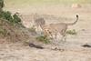 Cheetah_Cubs_Mara_Kenya_Asilia_20150142