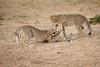 Cheetah_Cubs_Mara_Kenya_Asilia_20150161