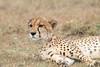 Cheetah_Mara_Asilia_Kenya0061