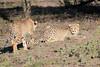 Cheetah_Family_Phinda_2016_0130