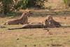 Cheetah_Cubs_Mara_Kenya_Asilia_20150281