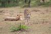 Cheetah_Mara_Asilia_Kenya0016