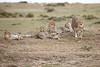 Cheetah_Family_Portraits_Mara_Kenya_Asilia_20150021
