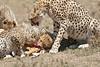 Cheetah_Feast_Mara_Kenya_Asilia_20150250