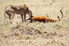 Cheetah_Feast_Mara_Kenya_Asilia_20150192