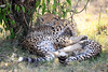 Cheetah_Cubs_Mara_Kenya_Asilia_20150082