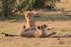 Cheetah_Cubs_Mara_Kenya_Asilia_20150214